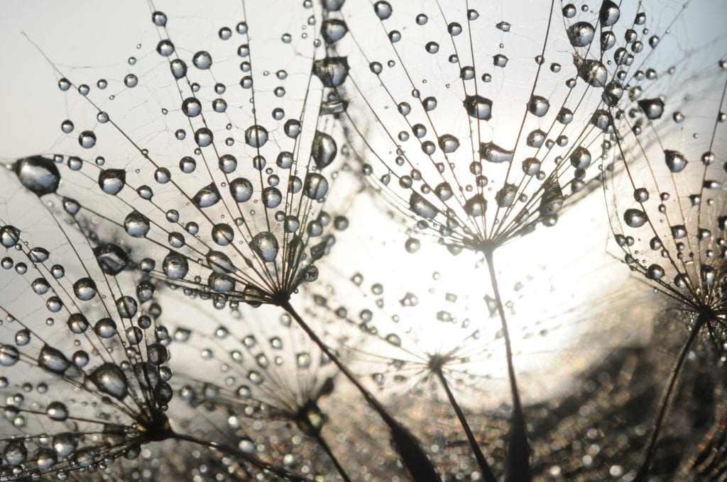 Dandelion seeds with dew drops